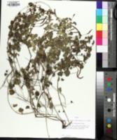 Image of Acalypha monostachya