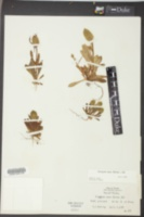 Polygala nana image