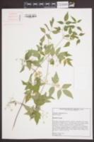 Clematis catesbyana image