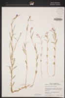Clarkia affinis image