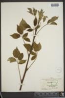 Image of Rubus praepes