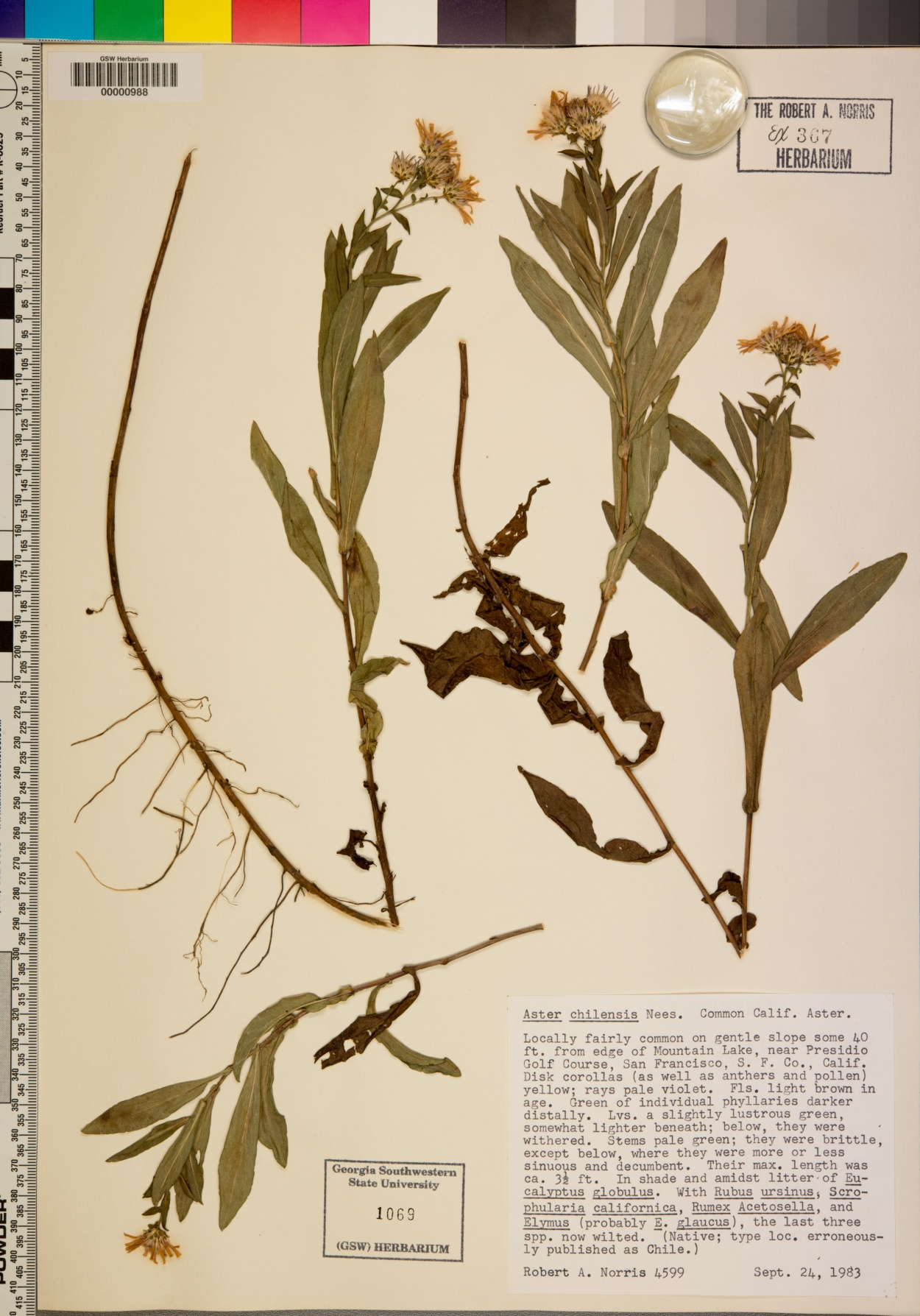 Symphyotrichum chilense var. chilense image