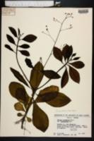 Talinum paniculatum image