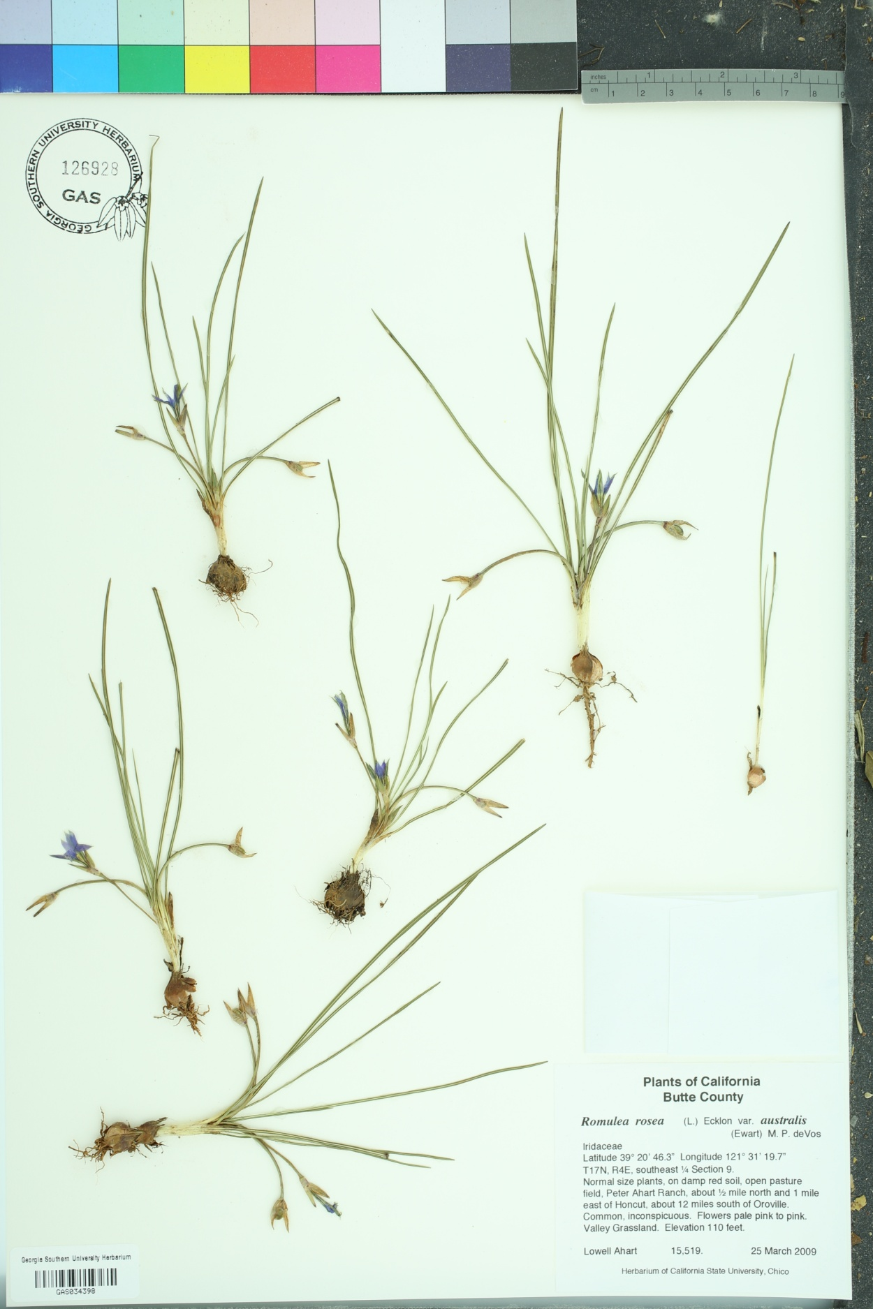 Romulea rosea image