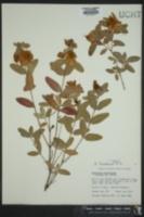 Hypericum frondosum image