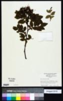 Rosa virginiana image