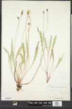 Scorzoneroides autumnalis image