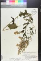 Symphyotrichum drummondii image