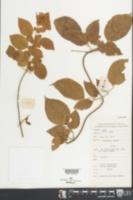 Image of Jasminum sinense