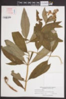 Image of Lysimachia fraseri