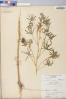 Image of Lupinus angustifolius