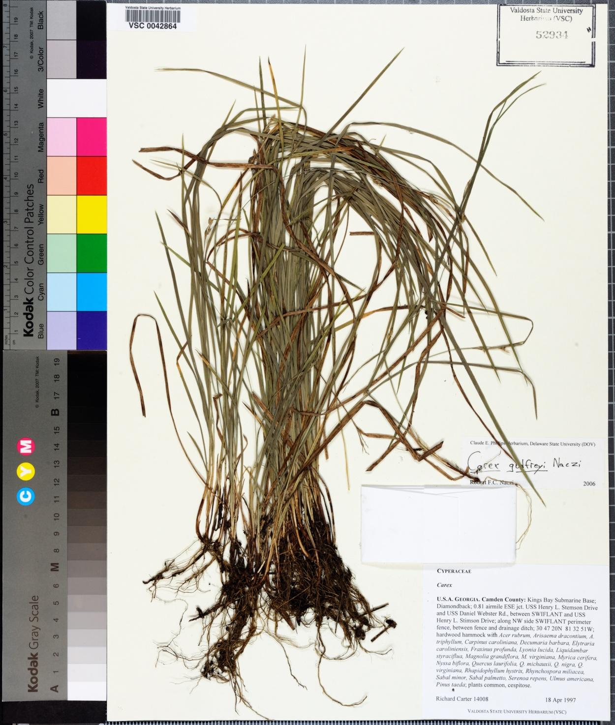 Carex godfreyi image