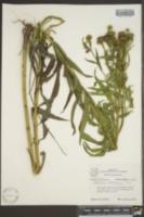 Vernonia arkansana image