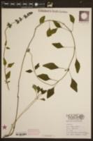 Image of Salvia forreri