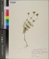 Verbena tenera image