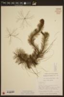 Myriophyllum heterophyllum image