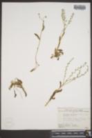 Myosotis alpestris subsp. asiatica image
