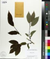 Diospyros lotus image