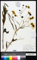 Helianthus agrestis image