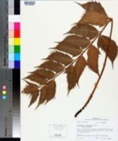 Cyrtomium falcatum image