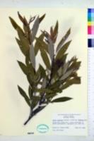 Salix sericea image