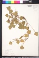 Trapa bicornis image