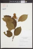 Cephalanthus occidentalis image