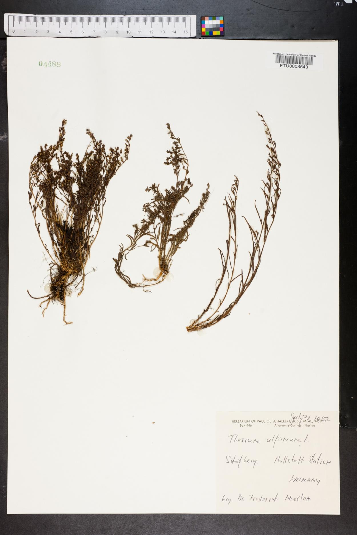 Thesium alpinum image
