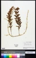 Comandra richardsiana image