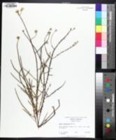 Image of Symphyotrichum walteri