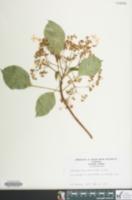 Image of Hydrangea petiolaris