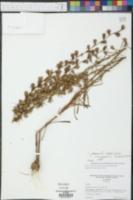 Liatris graminifolia image