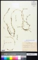 Image of Caulinia guadalupensis