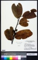 Image of Annona hypoglauca