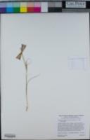 Calochortus argillosus image
