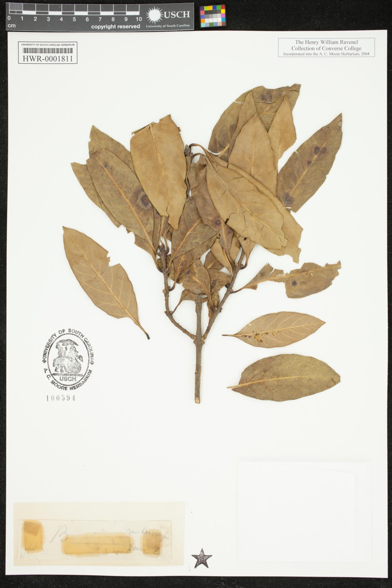 Oleaceae image