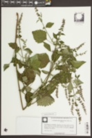 Cantinoa mutabilis image