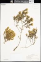 Image of Haplopappus ferrisiae