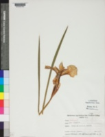 Image of Iris tingitana