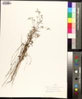 Croton michauxii image