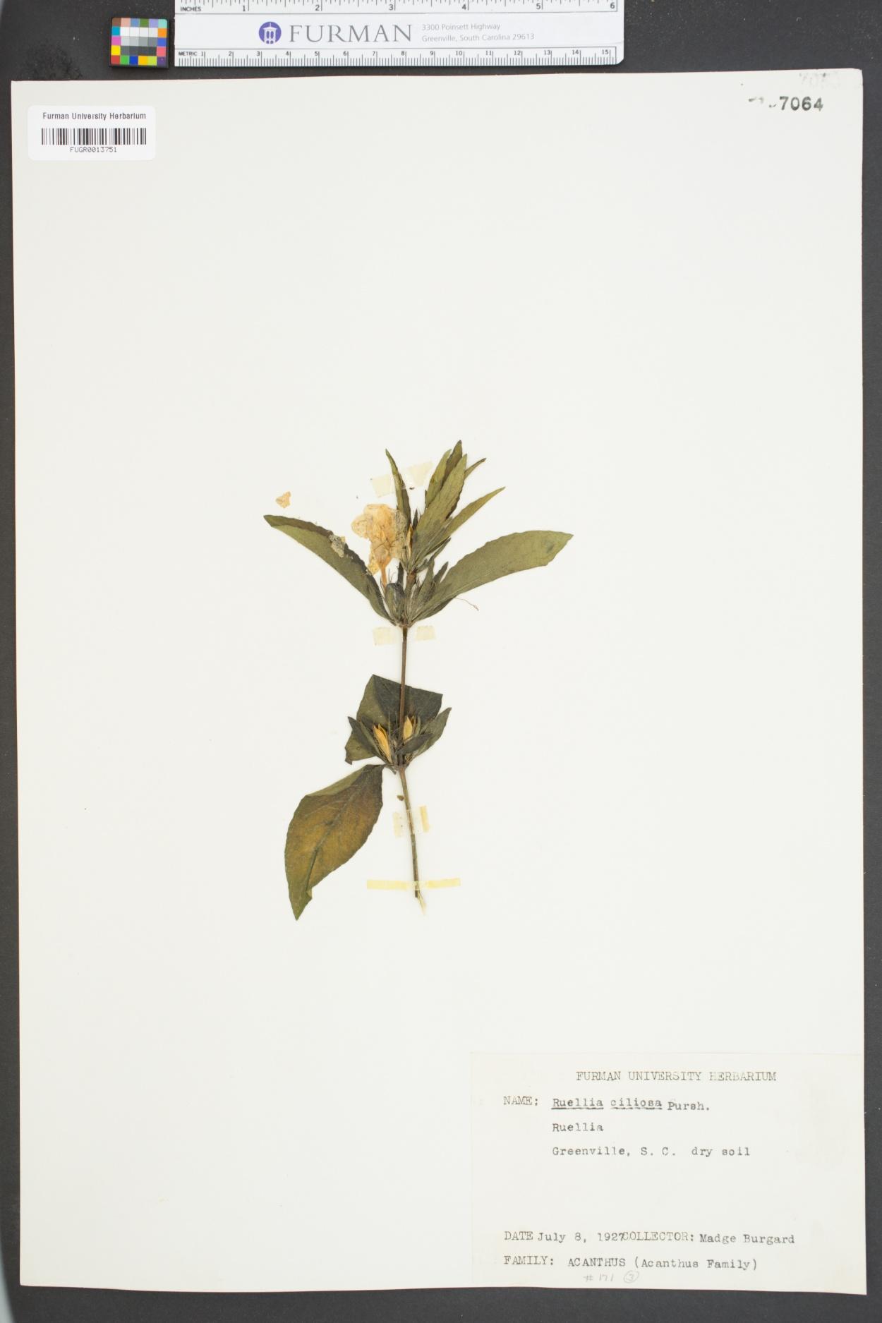 Ruellia ciliosa image
