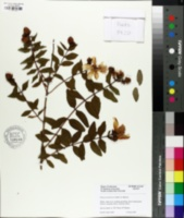 Image of Hypericum forrestii