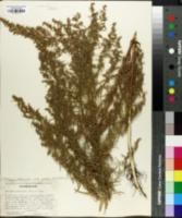 Image of Artemisia lindleyana