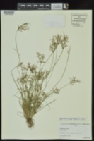 Fimbristylis annua image
