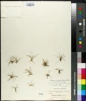 Image of Eleocharis ochreata