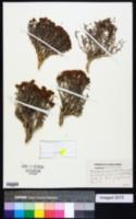 Eriogonum contortum image