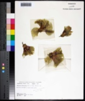 Image of Hibiscus rostellatus