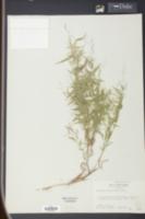 Panicum microcarpon image