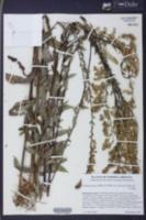Solidago patula image