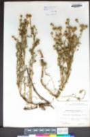 Matricaria occidentalis image